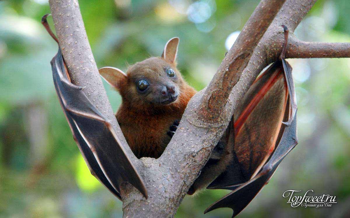Африканская Фруктовая летучая мышь