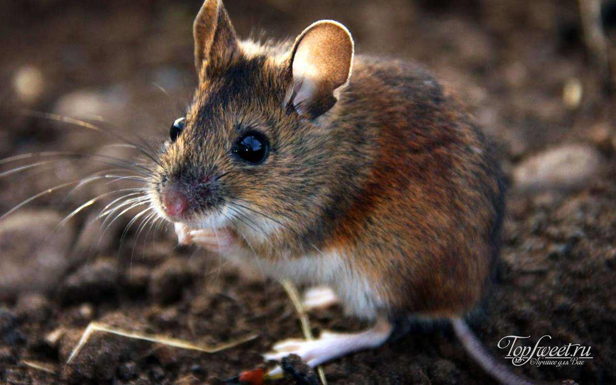 белая полевая мышь фото