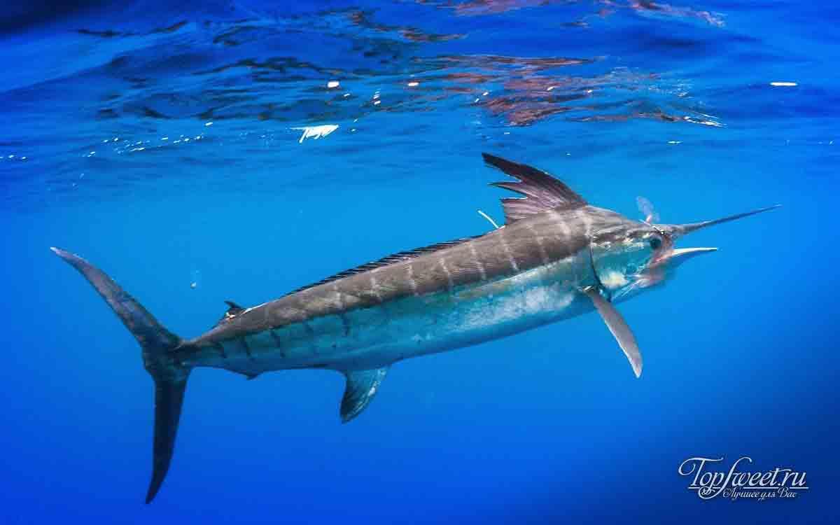 Марлиновые рыбы