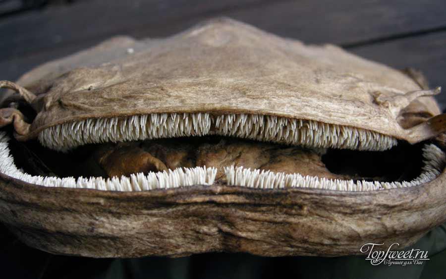Зубы-щетки обыкновенного сома