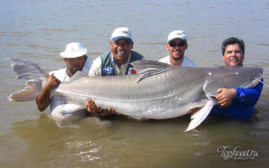 Пирайба (Piraiba Catfish)