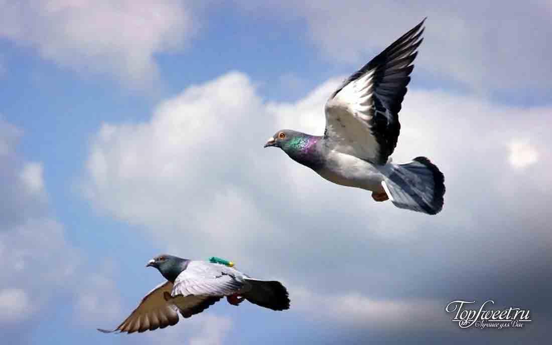 10 тайн мира, которые были разгаданы наукой. Почтовые голуби