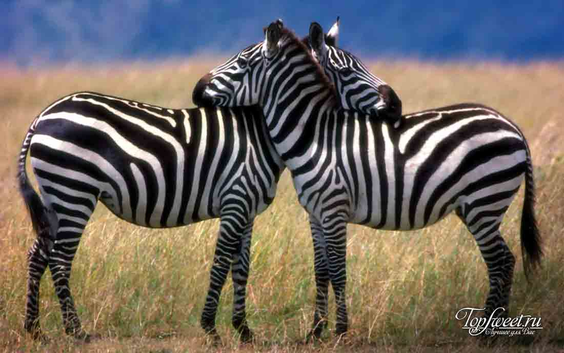 10 тайн мира, которые были разгаданы наукой. Зебры