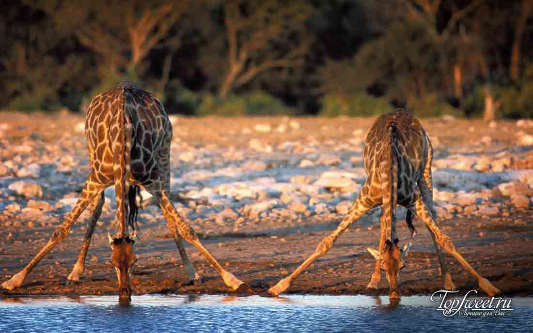 10 тайн мира, которые были разгаданы наукой. Жирафы