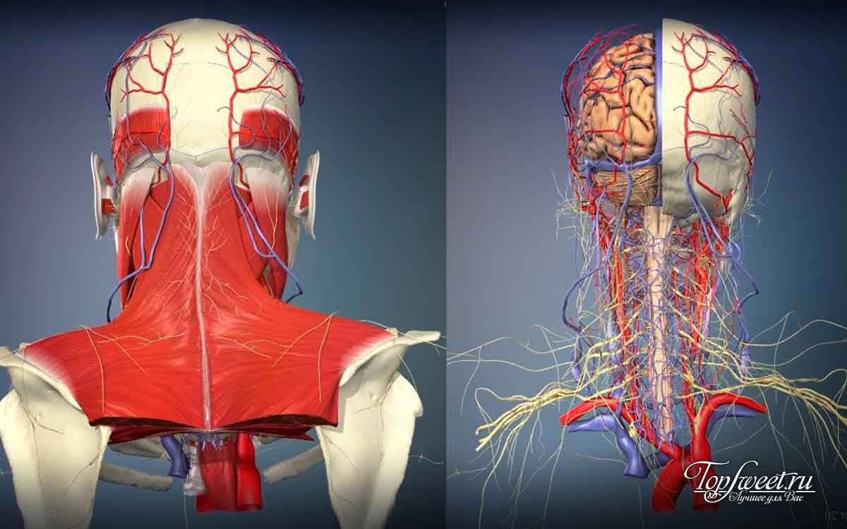 Топ 10 самых бесполезных органов человека