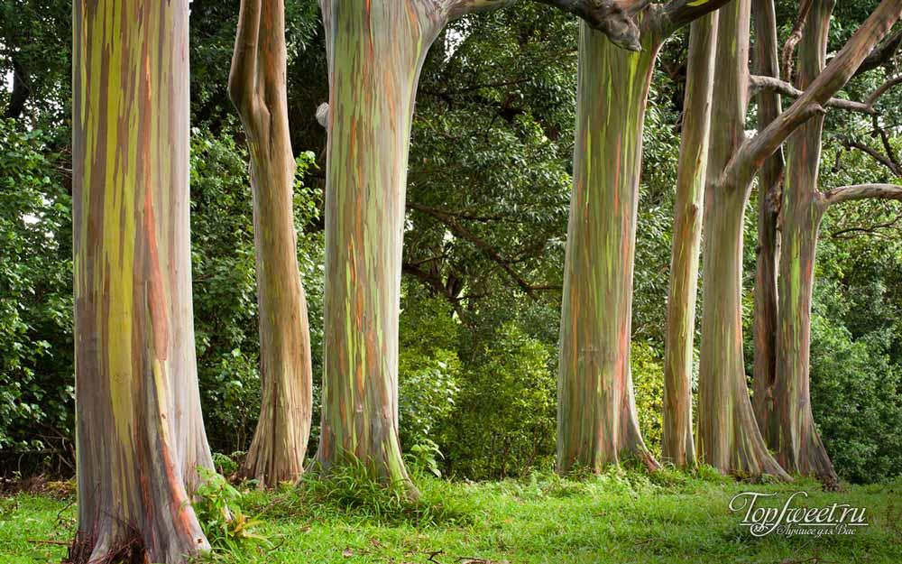 Радужные эвкалиптовые деревья