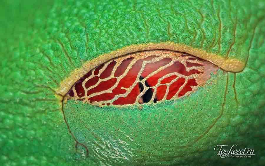 Красноглазая квакша с закрытыми глазами