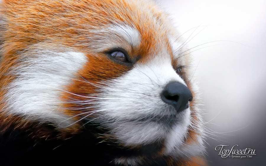 Индийская летучая лисица