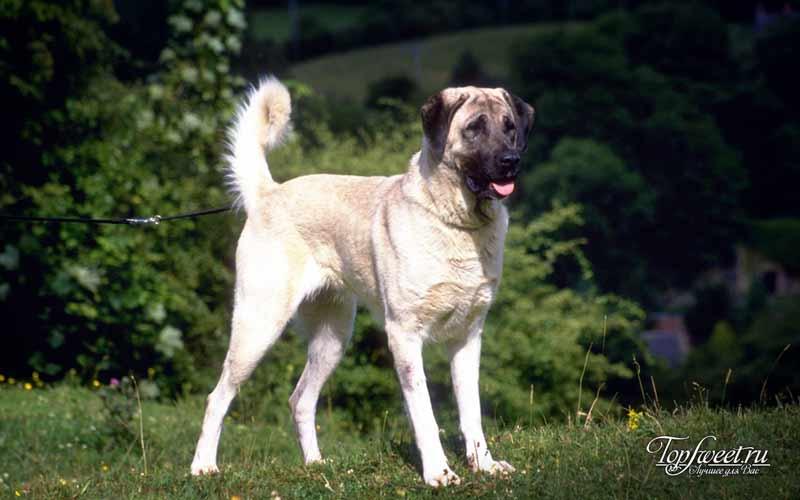 Анатолийская овчарка. Самые большие породы собак в мире