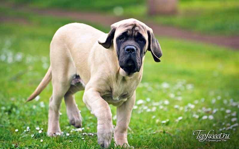 Английский мастиф. Самые большие собаки в мир