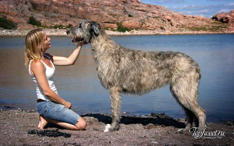 Ирландский волкодав. Самые большие собаки в мире