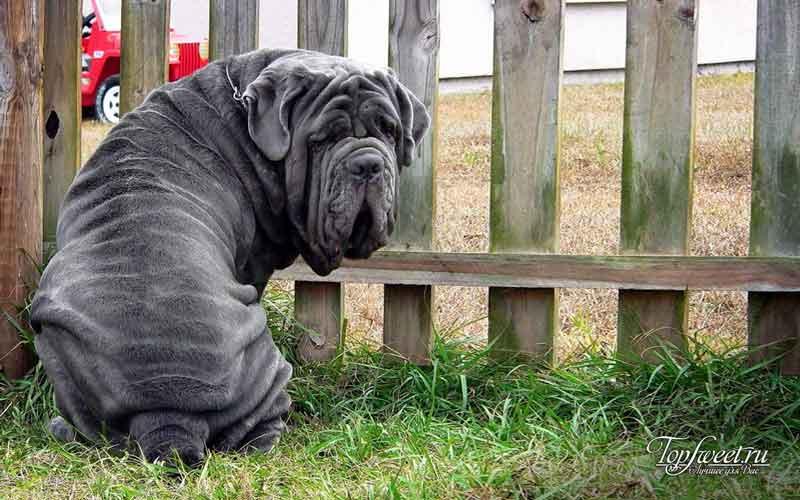 Неаполитанский мастиф. Самые большие собаки в мире