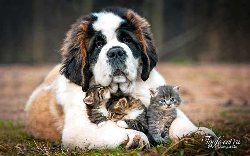 Сенбернар. Самые большие собаки в мире
