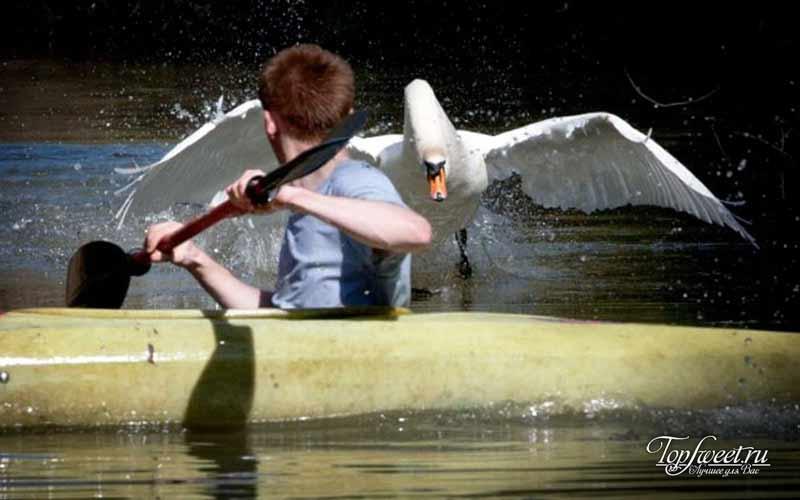 Агрессивный лебедь. Самые опасные животные