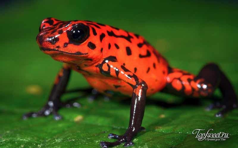 Древолаз. Самая красивая лягушка