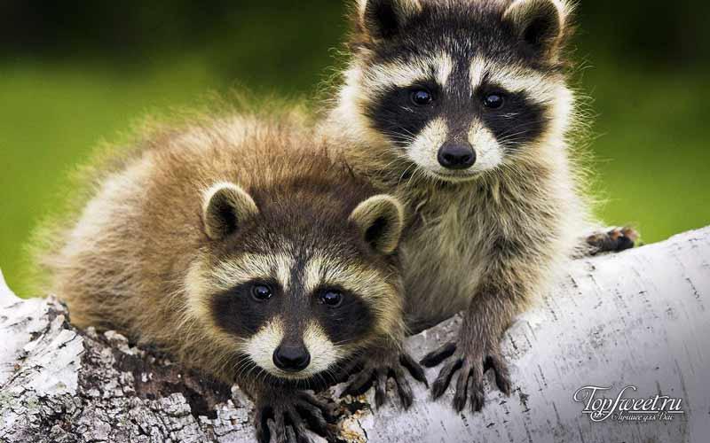 Еноты. Милые и опасные существа