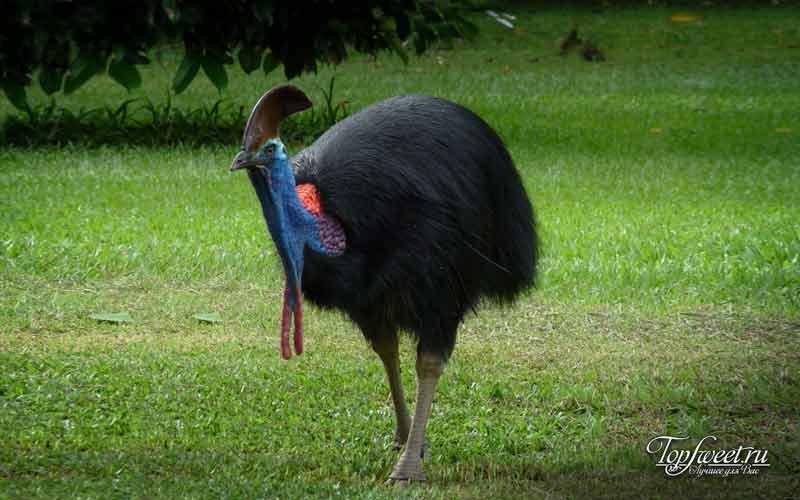 Казуары. Милые и опасные птицы