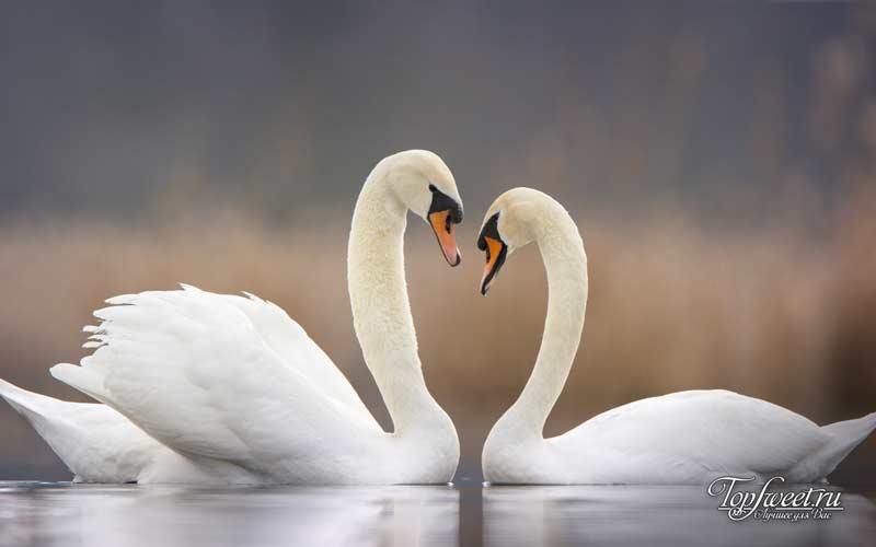 Лебеди. ТОП-8 самых милых и опасных животных