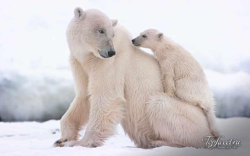 Белый медведь. Красивый и опасный хищник