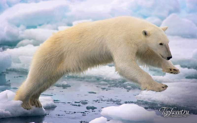 Полярный медведь. Красивый и опасный хищник