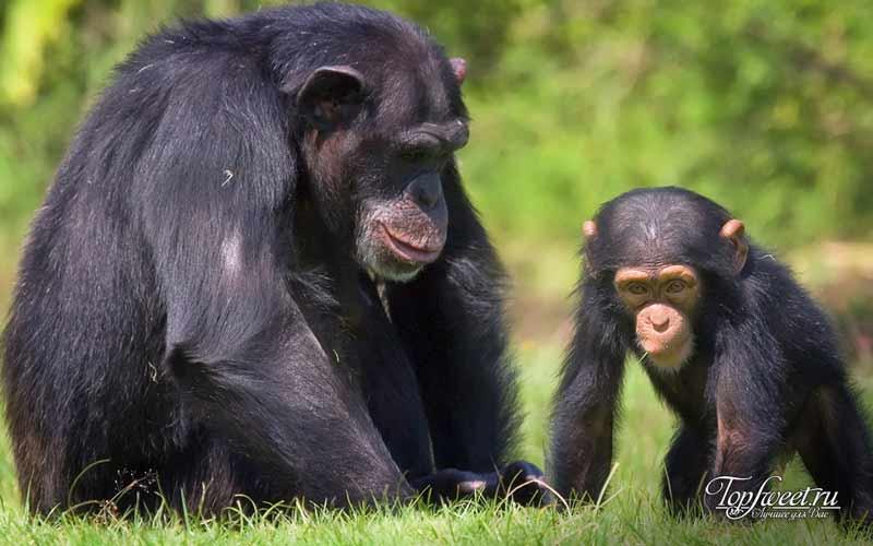Шимпанзе. Милые и опасные животные