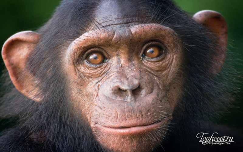 Шимпанзе. Умные и опасные животные