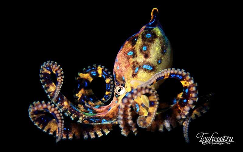 Синекольчатые осьминоги. Очень ядовитые животные