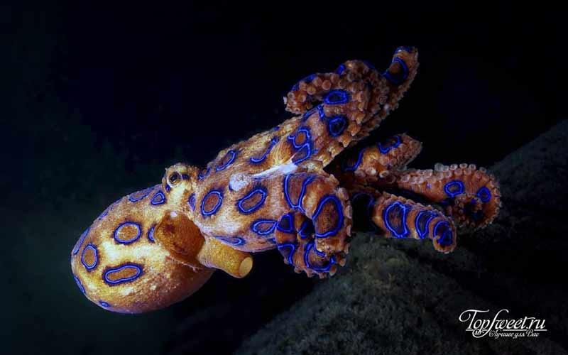 Синекольчатые осьминоги