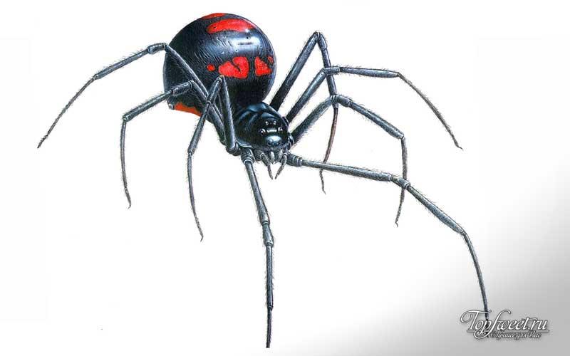 Чёрная вдова. Самые ядовитые пауки