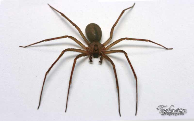 Коричневый паук – отшельник