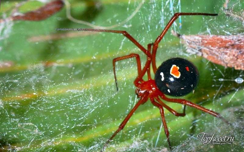 Красноногая вдова. Самые опасные пауки