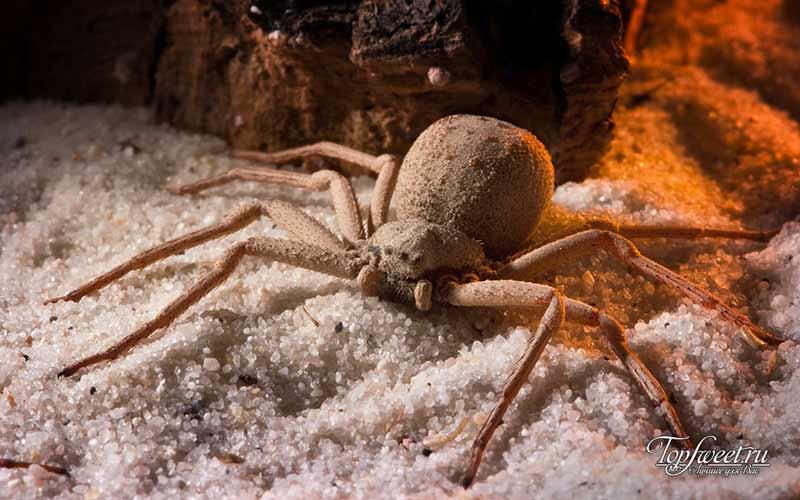 Шестиглазый песочный паук. Рейтинг опасных пауков