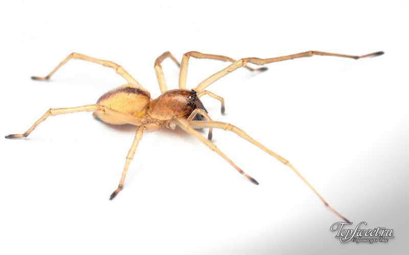Жёлтый паук мешкопряд. Самые ядовитые пауки