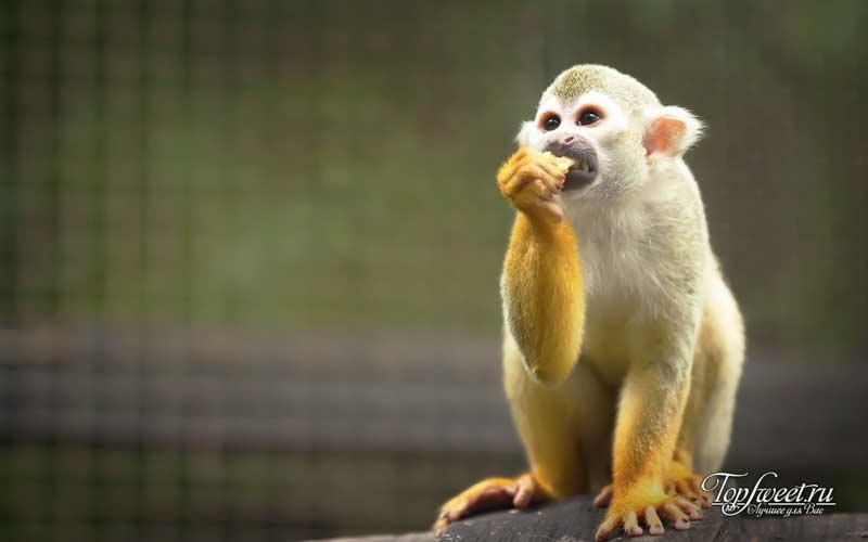 Беличья обезьяна