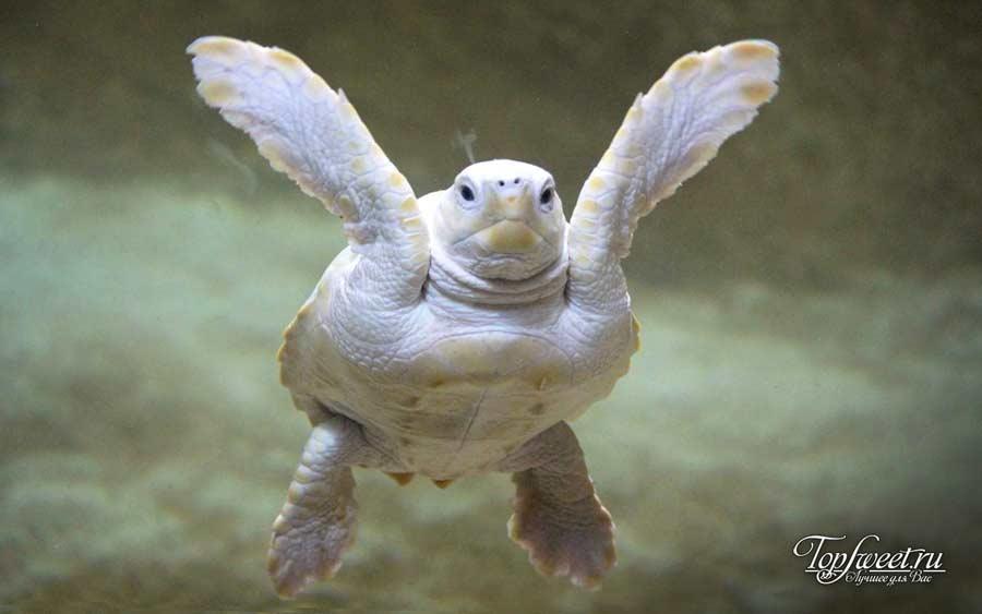 На фото Черепаха-альбинос