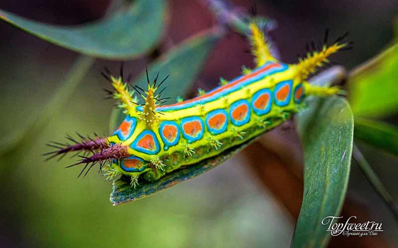 Calcarifera ordinata. Самые необычные насекомые