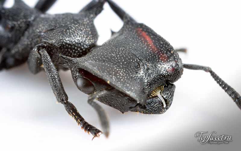Cephalotes atratus. Самые необычные насекомые