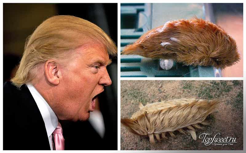 Donald Trump Caterpillar. Самые необычные насекомые
