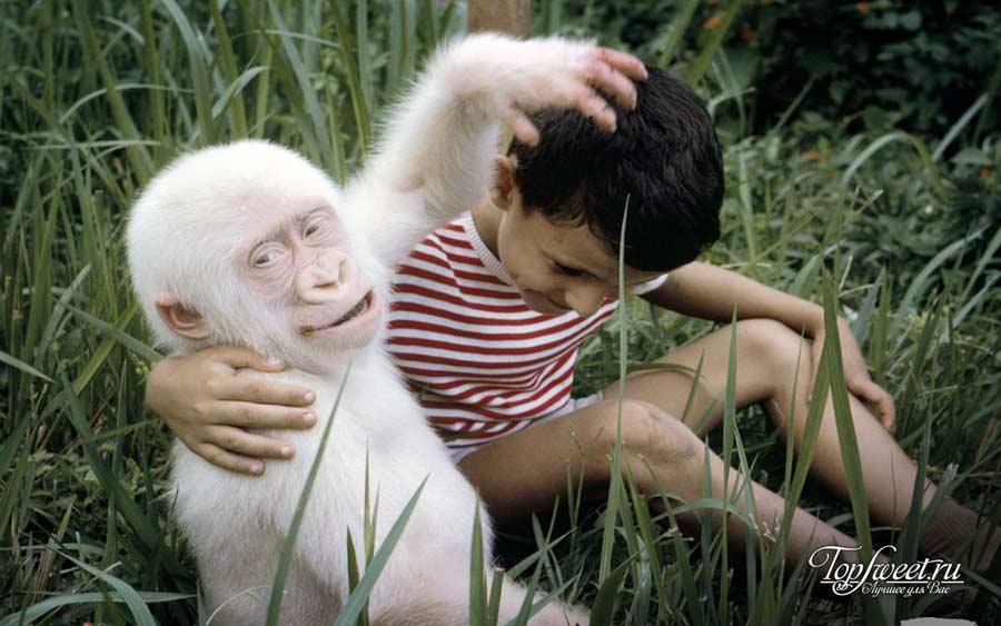 На фото Горилла-альбинос