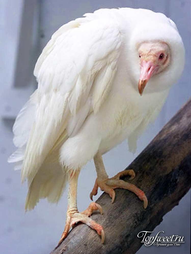 Гриф-альбинос