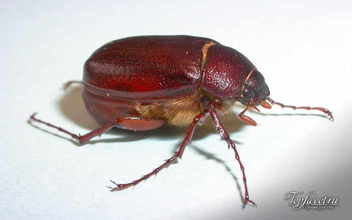 Июньский жук. Самые странные болезни в мире