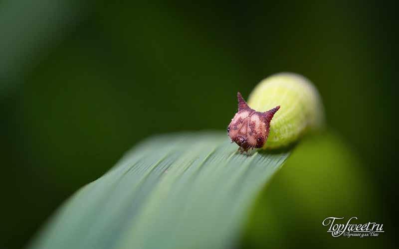 Mycalesis gotama. Самые необычные насекомые
