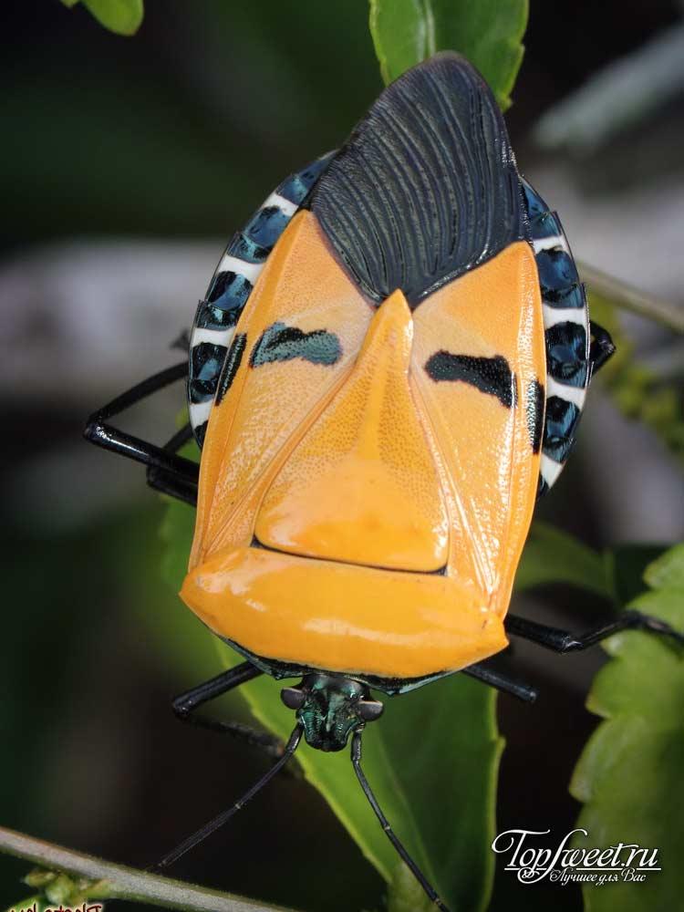 Pentatomidae