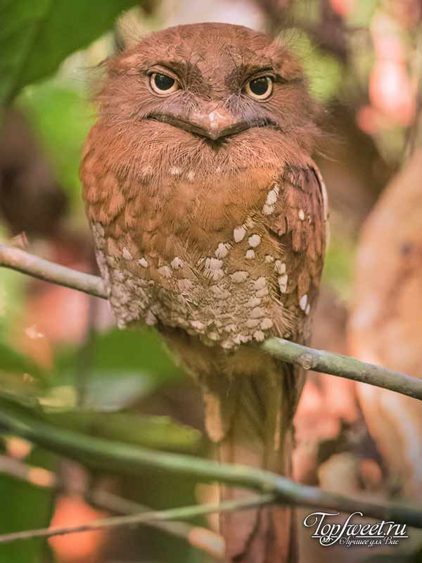 Шриланкийский совиный лягушкорот