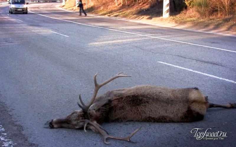 Сбитый олень