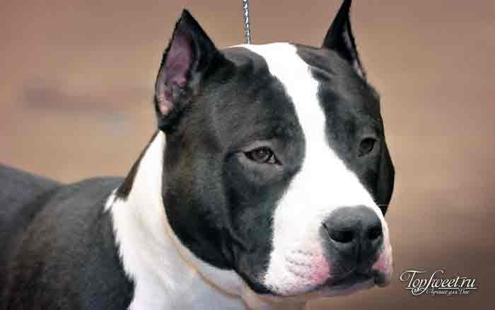 Американский стаффордширский терьер. лучшие породы собак для семей с детьми