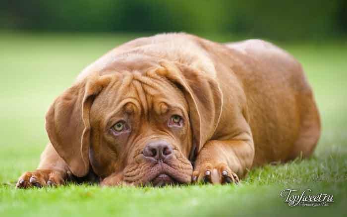 Бордоский дог. лучшие породы собак для семей с детьми