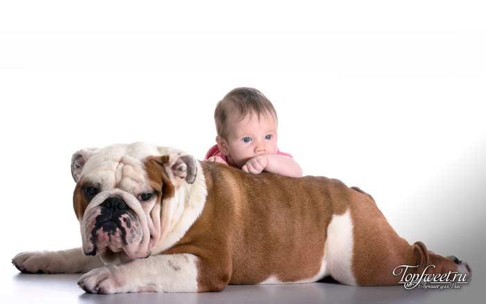 Бульдог. лучшие породы собак для семей с детьми
