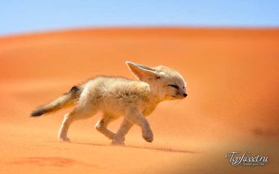 Фенек. ТОП-10 Самые красивые животные в мире