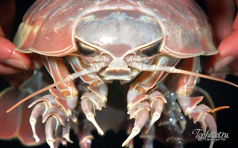 Гигантские изоподы. ТОП-10 Самые ужасные морские существа